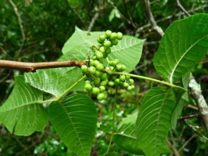 Site 3 Poison Ivy