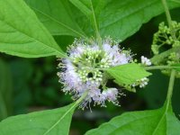 Site-6-Beautyberry-flower