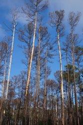 Site-9-Pine-bark-beetles