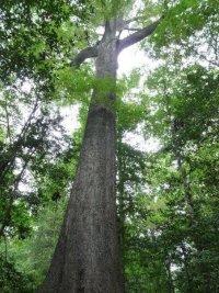 Site-5-Cherrybark-Oak