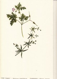herb-robert-goose-grass