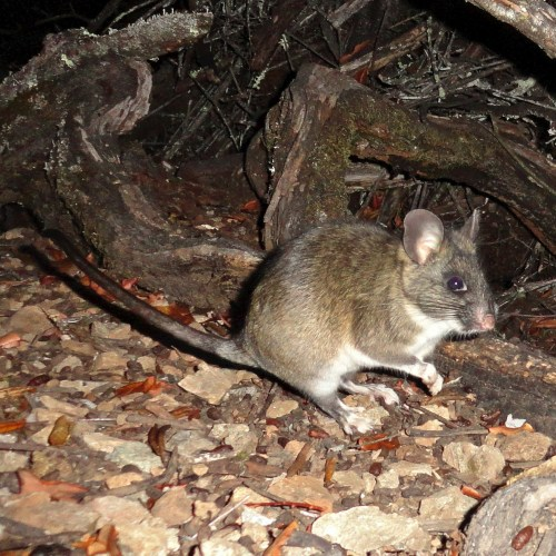 Dusky-footed woodrat in front of stick house. © 2013 Ken Hickman