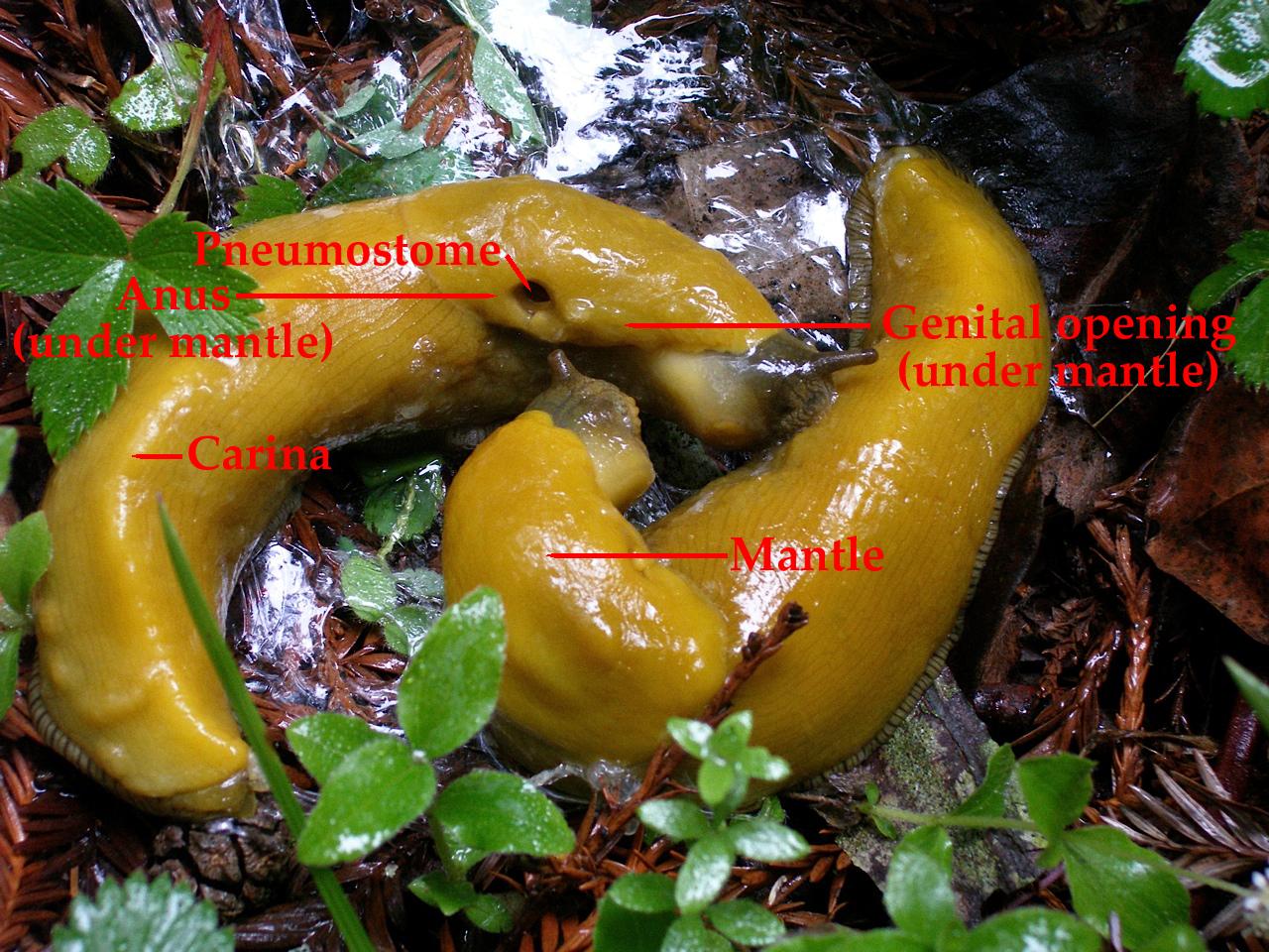 Morfologia della lumaca della banana.