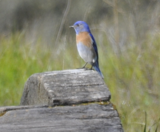 Western bluebird on log