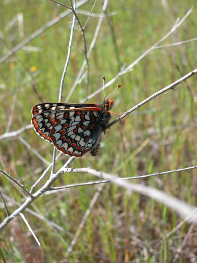 First Recorded Butterfly to Emerge in 2008, Dubbed Edward The First