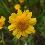 Goldfields closeup