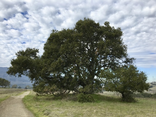 Large oak beside trail