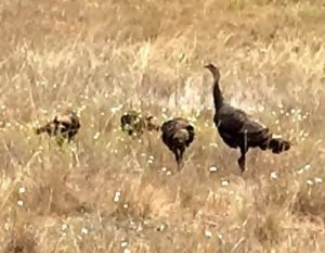Wild turkeys in Edgewood County Park