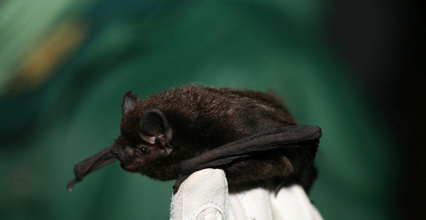 Little Brown Bat, Joanna Coleman