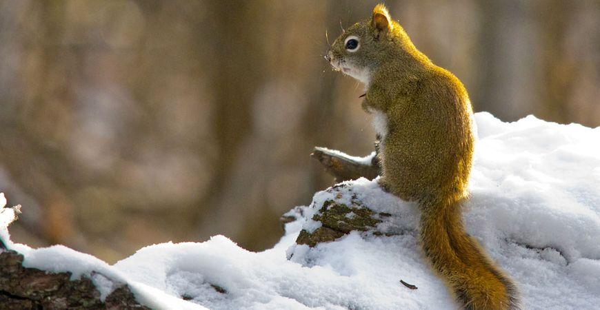 Red Squirrel, Dan Arndt
