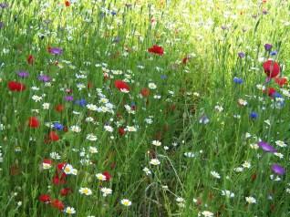 Wildflower meadow 9