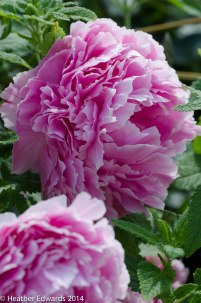 Paeonia at Margy's garden at Alham House