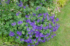 Geranium at Meadowside