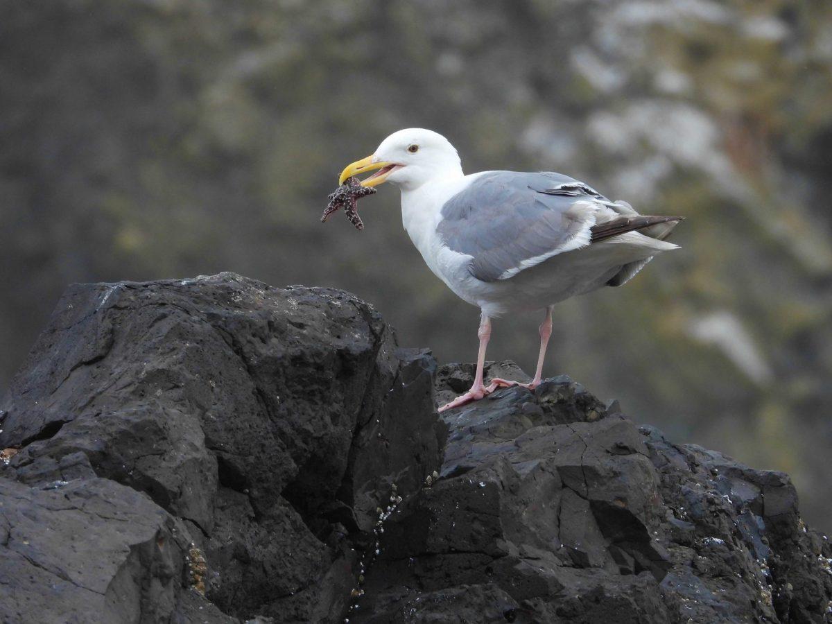 gull and sea star Shirin Doratotaj