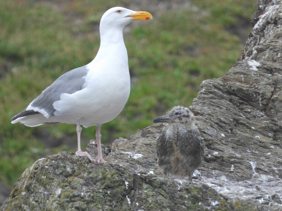 gull parent and chick Shirin Doratota