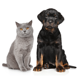 A cat and a dog sitting together on a white background.