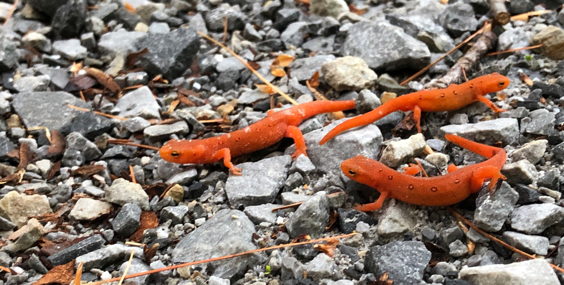 Red Efts in the Park