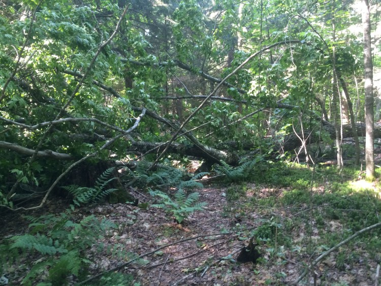 Downed trees blocking the Trout Point trail on Stockton Island