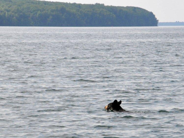 Black bear swimming to Oak Island