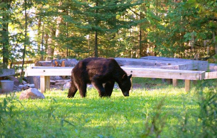 Black bear at the amphitheater near the ranger quarters on Stockton Island