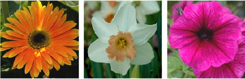 Close up of white and yellow daffodil