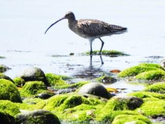 wading bird, Tiree