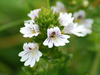 flower, Tiree