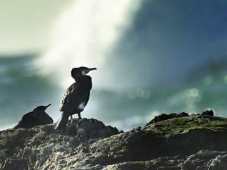 birds, Tiree