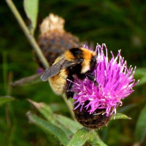 Great yellow bumblebee queen, Tiree