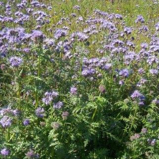 Phacelia flowers