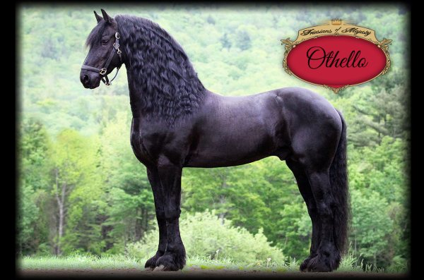 Home Friesians of Majesty Friesian Stallions and