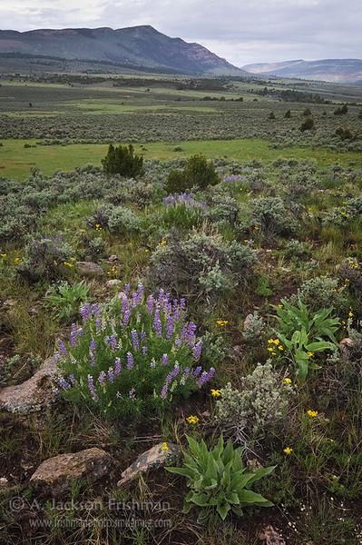 Lupines in Pot Creek Valley, northwestern Colorado, June 2010.