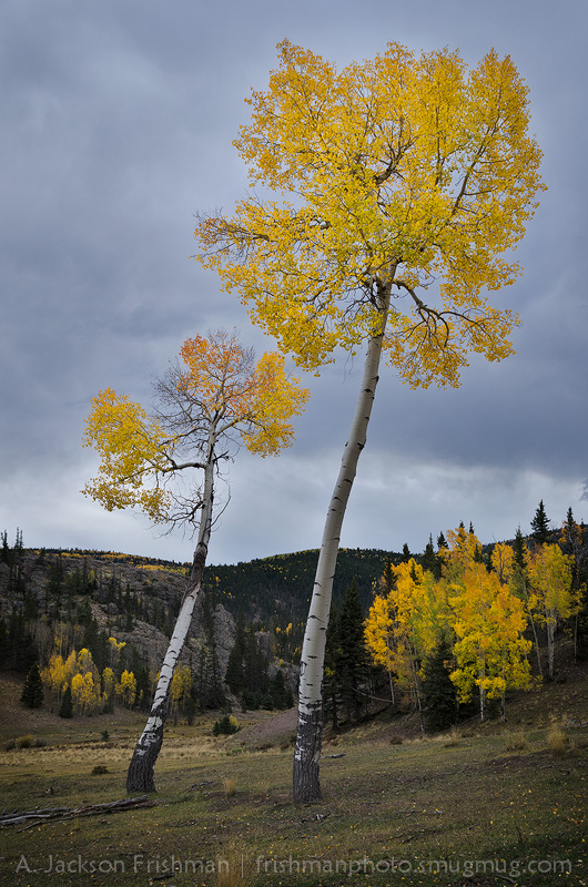 Fall aspens, Cruces Basin Wilderness, New Mexico
