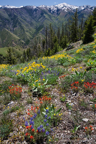 Summer wildflowers high above Camas Creek canyon in Idaho's Frank Church-River of no Return Wilderness