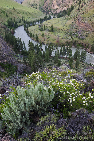 Blooming syringa high above the Middle Fork of the Salmon River
