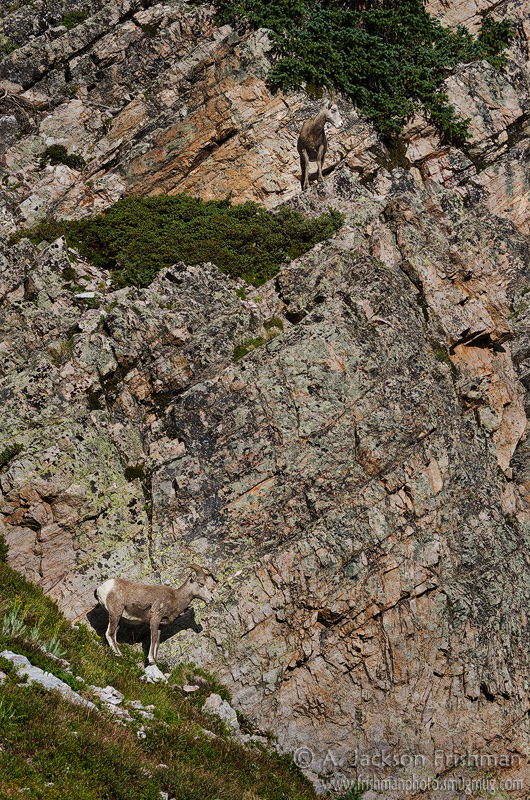 Bighorn sheep in New Mexico's Pecos Wilderness