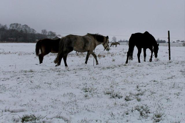 heste, vinter, hygge, mark, februar