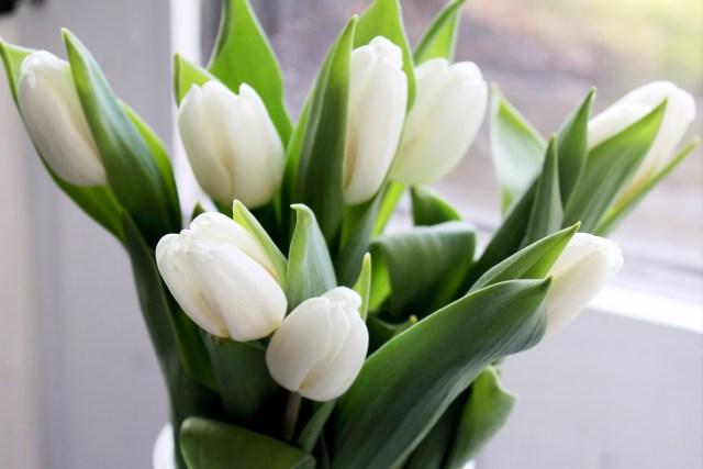 tulipaner, foraar, kahler