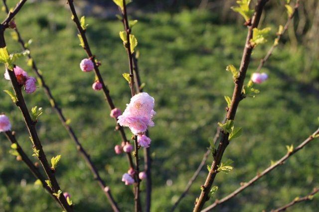 mandeltrae, foraar, blomster