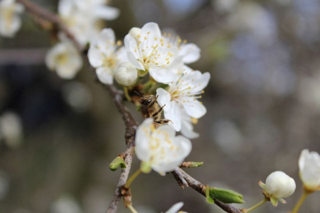 mirabella, foraar, bien-og-blomster