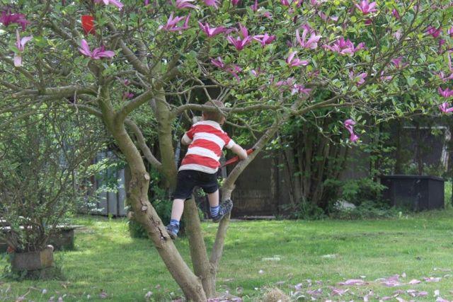 klatretrae, magnolia