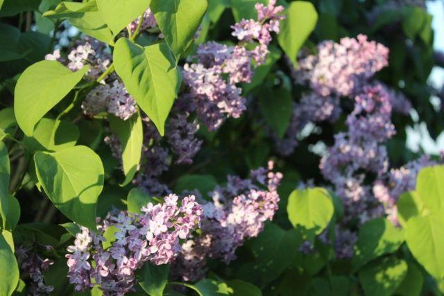 syrener, have, haveliv, blomster