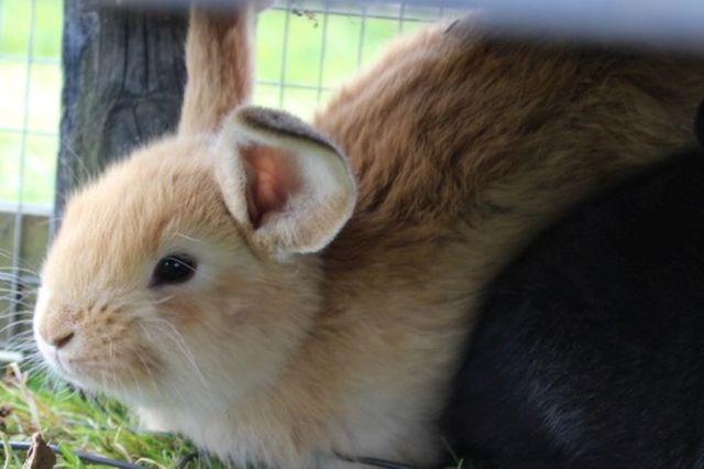 kaninunger, kaniner