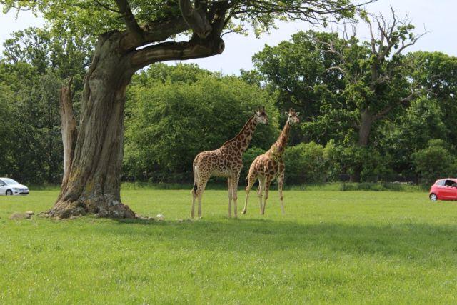 - Smukke giraffer på savannen -