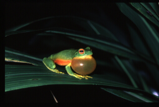 Australian red-eye
