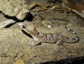 Durrell's night gecko, Nactus durelli (c) George Sayer