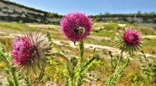 Nodding or Musk thistle - Carduus nutans