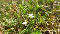 Fairy Flax - Linum cartarticum. (Dreadful photo 'cos the auto focus couldn't find the tiny flowers)