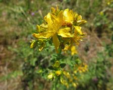 Perforated St John's wort - Hypericum perforatum