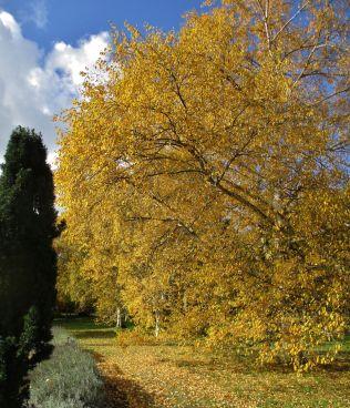 Birch at Cambridge Botanics